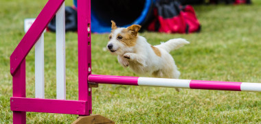 Dog on agility course