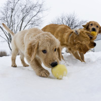 "A 11 week old Golden Retiever takes advantage of the older dogs playing to steal the ball in the snow, ""Missy, Arthur and Dutchess"""