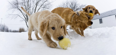 """A 11 week old Golden Retiever takes advantage of the older dogs playing to steal the ball in the snow, """"Missy, Arthur and Dutchess"""""""