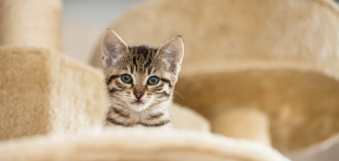 curious kitten gray tabby cat sitting on beige cat furniture looking curiously into camera