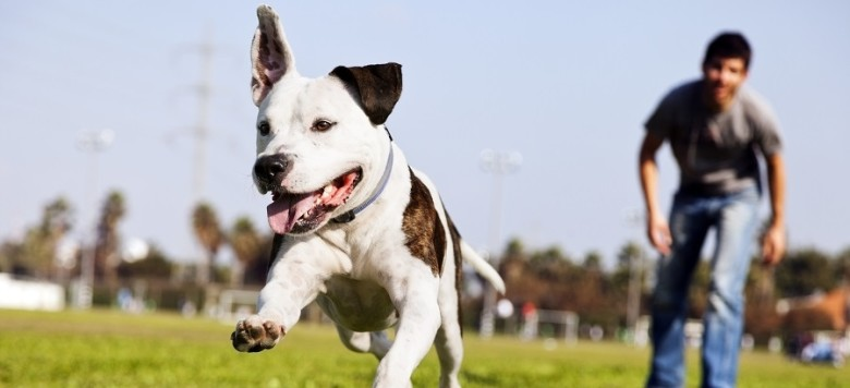 A Pit Bull dog mid-air, running after its chew toy with its owner standing close by