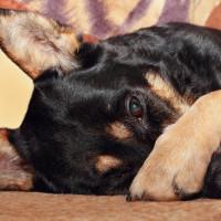 Hund krank_132410726